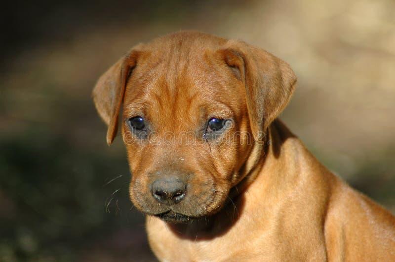 Puppy Portrait Royalty Free Stock Photo