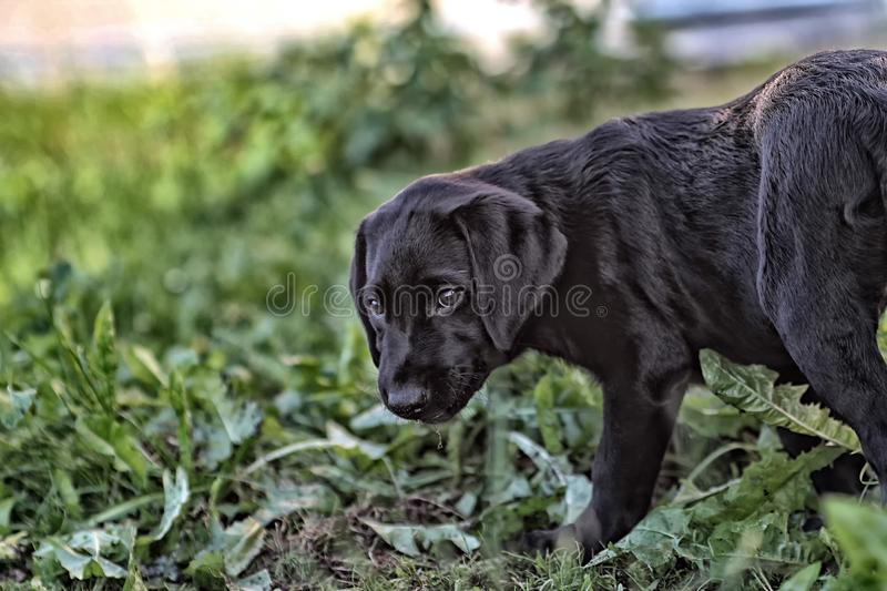 Puppy portrait, labrador retriever royalty free stock photography