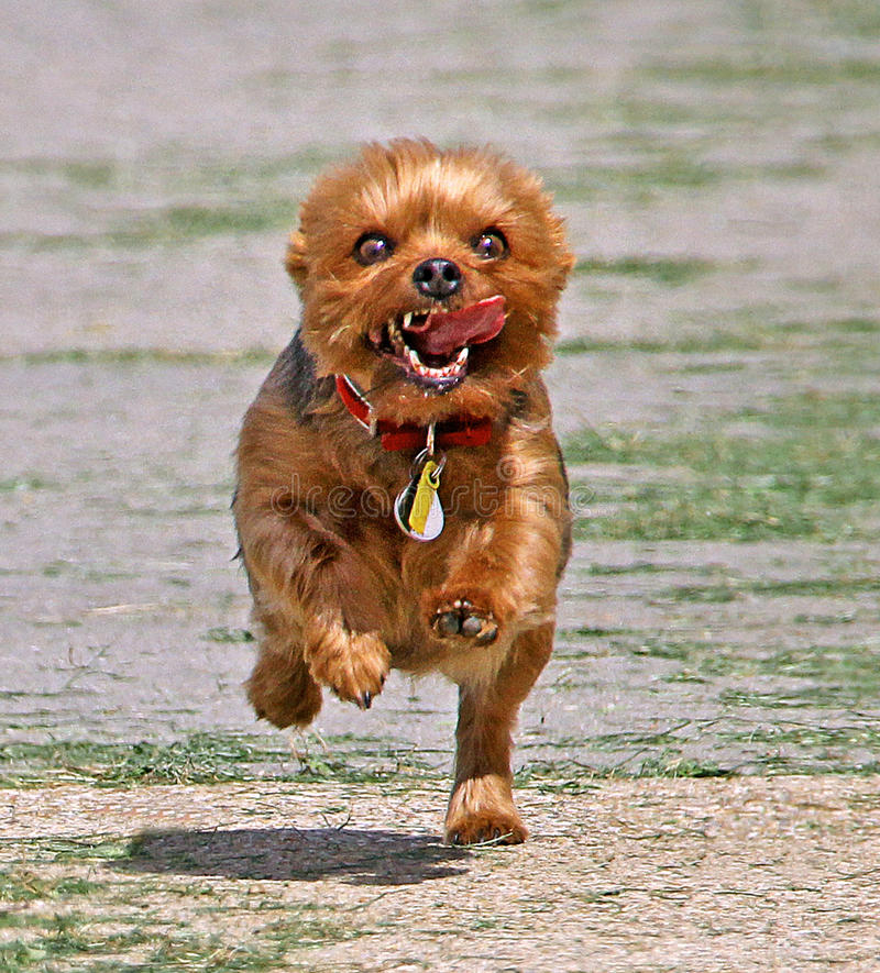 Puppy power!. Photo of a cute yorkshire terrier dog running as fast as his legs can carry him towards his master