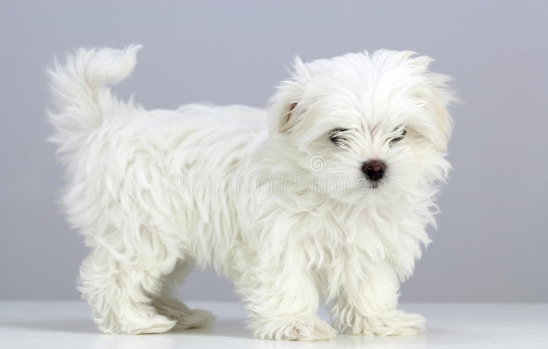 Puppy Precious Maltese Pose stock image