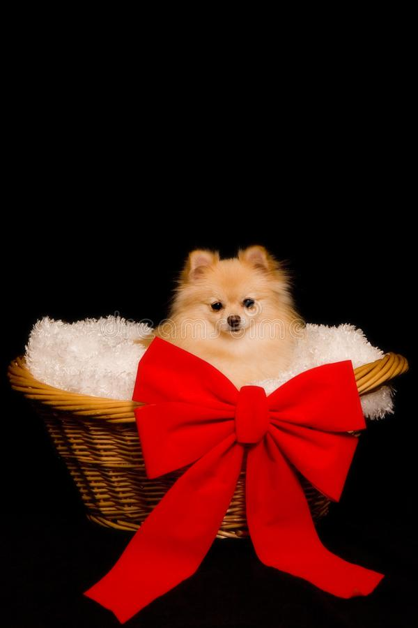 Puppy Present royalty free stock photography