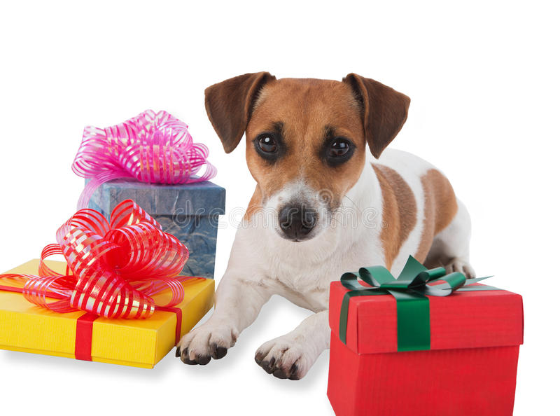 Puppy with presents. Jack Russell terrier puppy with gift boxes on white background stock images
