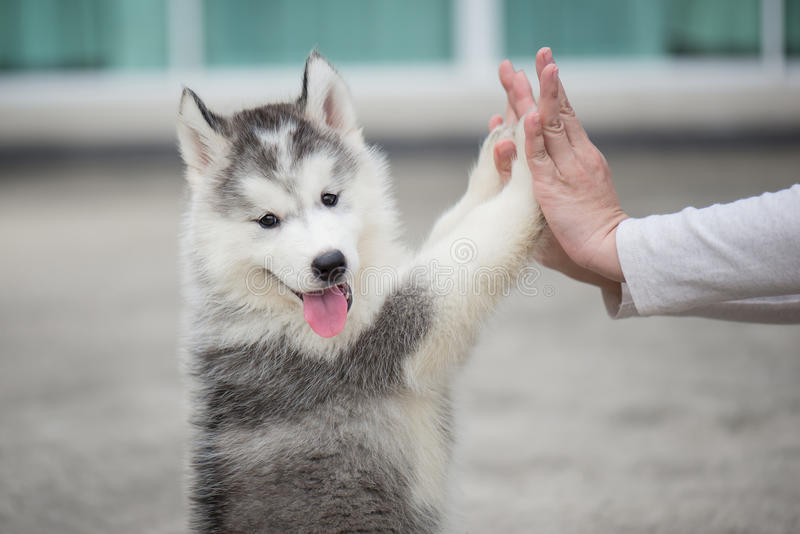 Puppy pressing his paw against a Girl hand. Give me five -Puppy pressing his paw against a Girl hand royalty free stock images