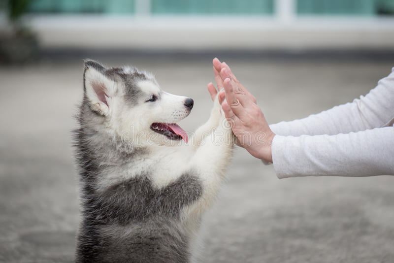 Puppy pressing his paw against a Girl hand. Give me five -Puppy pressing his paw against a Girl hand stock photo