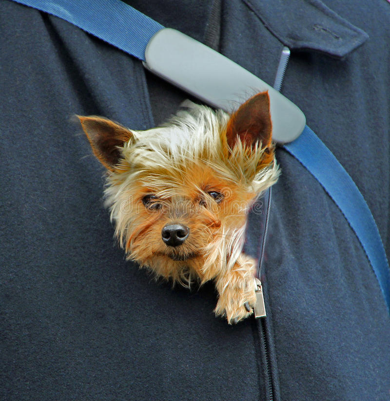 Puppy protection. Photo of a puppy yorkshire terrier dog being snug and warm inside his master's coat protected from the cold