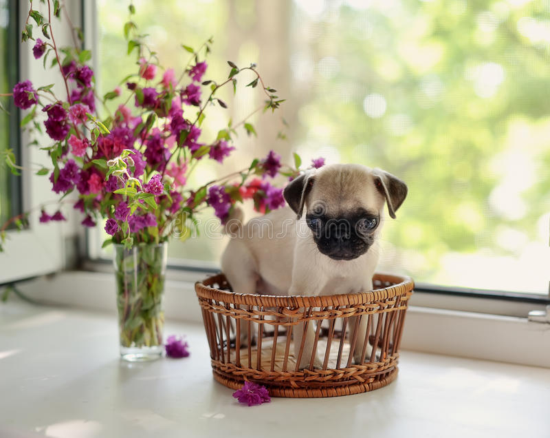Download Puppy pug stock photo. Image of friendship, beige, curiosity - 25271936