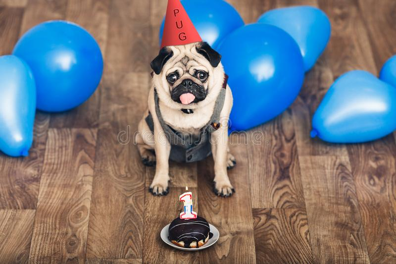 Puppy pug on birthday with a hat, blue balls and a cake. stock image