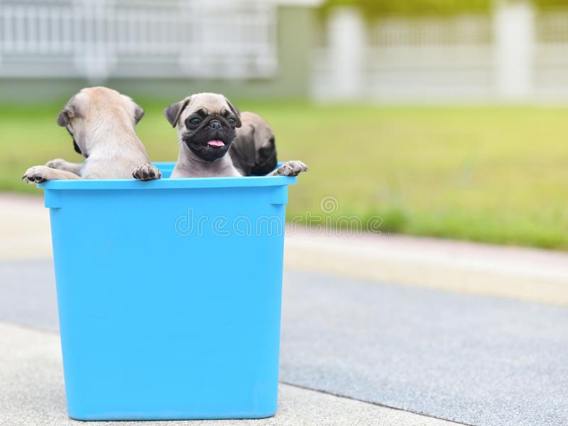 Puppy Pug in bucket. Cute puppy brown Pug stay in blue bucket stock photos