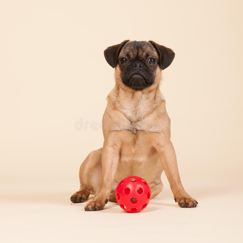 Puppy pug on cream background. Little puppy pug playing with ball stock photos