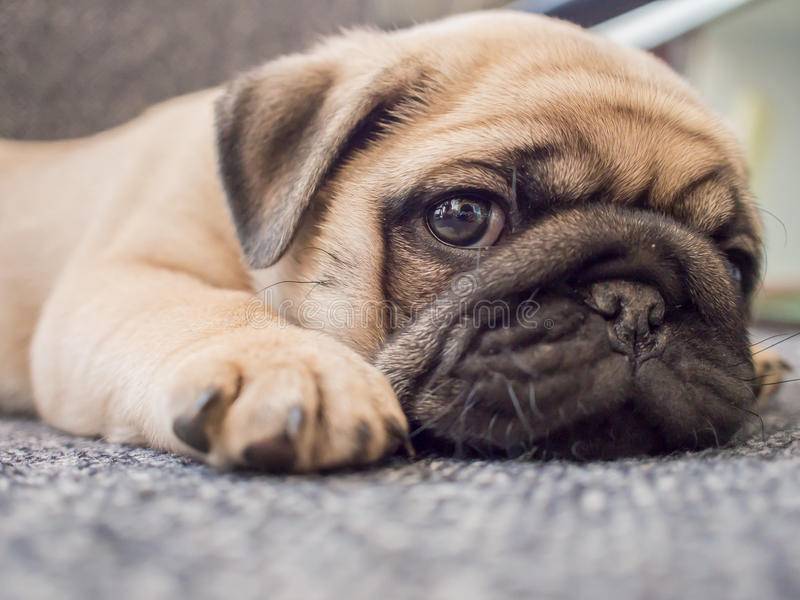 Puppy pug dog. A puppy pug dog lay down on a chair royalty free stock photo