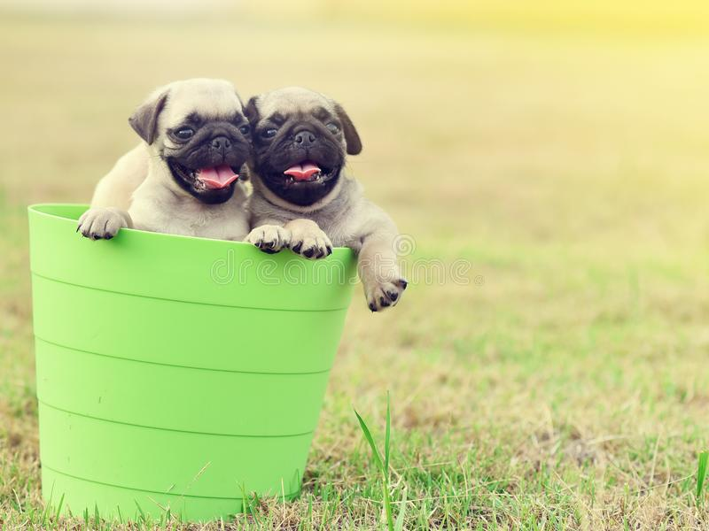 Puppy Pug with green bucket. Cute puppy brown Pug playing in green bucket royalty free stock photography
