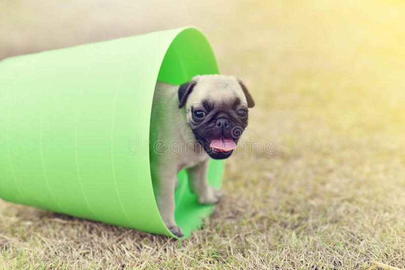 Puppy Pug with green bucket. Cute puppy brown Pug playing in green bucket royalty free stock photos