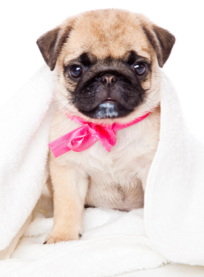 Puppy of pug in towel stock photography