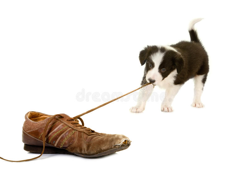 Download Puppy pulling shoe lace stock image. Image of space, small - 24391343