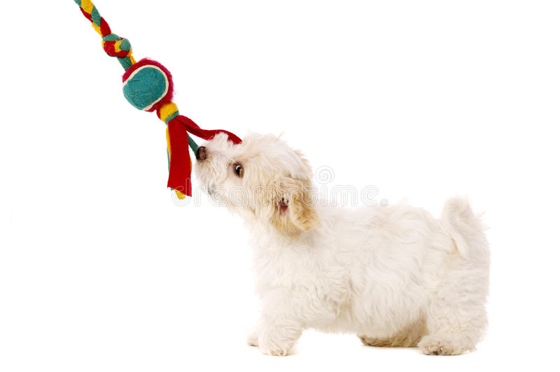 Download Puppy Pulling Toy Isolated On A White Background Stock Photo - Image: 28900230