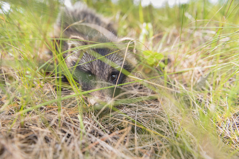 Puppy raccoon dogs in their natural habitat stock photo