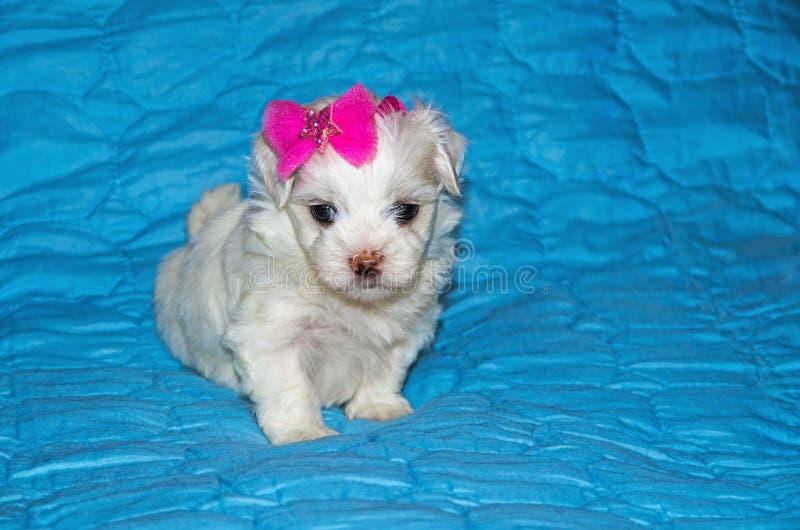 Puppy-ras maltese lapdog stock afbeeldingen