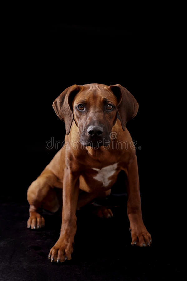 Download Puppy ready to leap stock photo. Image of nobody, portrait - 26838430