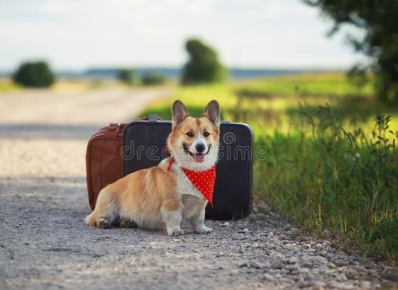 Portrait of cute puppy a red Corgi dog sits next to leather suitcases on the road waiting for transport while traveling on a. Puppy a red Corgi dog sits next to royalty free stock photos