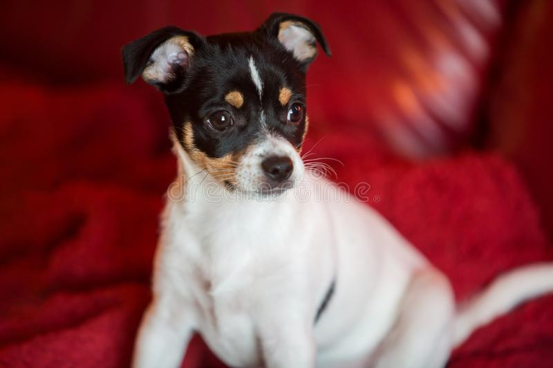 Puppy on red couch royalty free stock photos