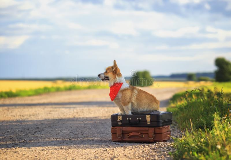 Puppy red dog Corgi sits on two old suitcases on a rural road waiting for transport while traveling on a summer day. Cute puppy red dog Corgi sits on two old stock image