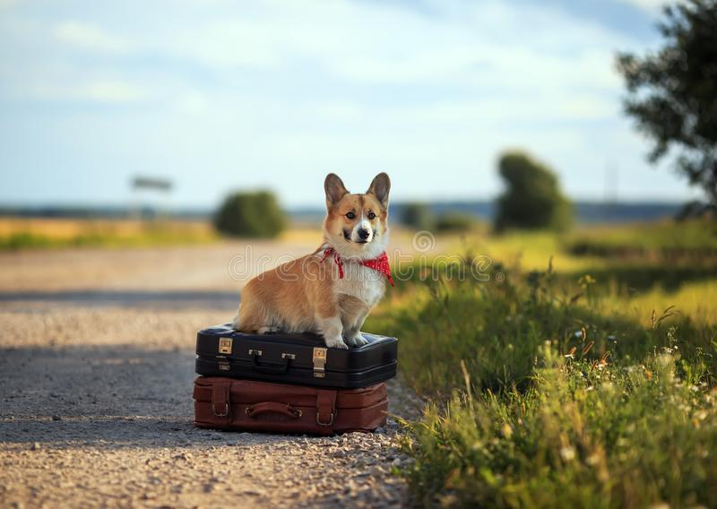 Cute puppy red dog Corgi sits on two old suitcases on a rural road waiting for transport while traveling on a summer day and. Puppy red dog Corgi sits on two old royalty free stock photography