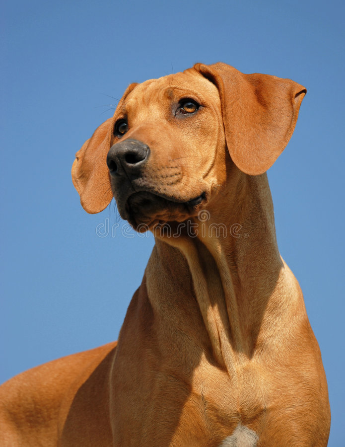 Puppy Rhodesian ridgeback royalty-vrije stock foto's