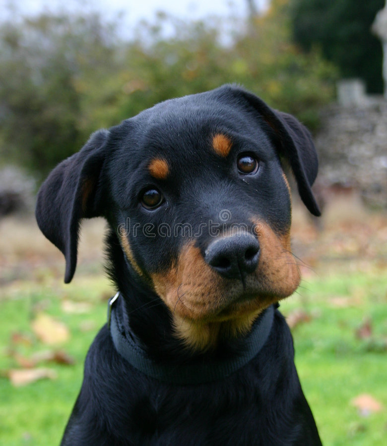 Puppy Rottweiler. Profil of puppy purebred mastiff rottweiler: dangerous watching dog stock image