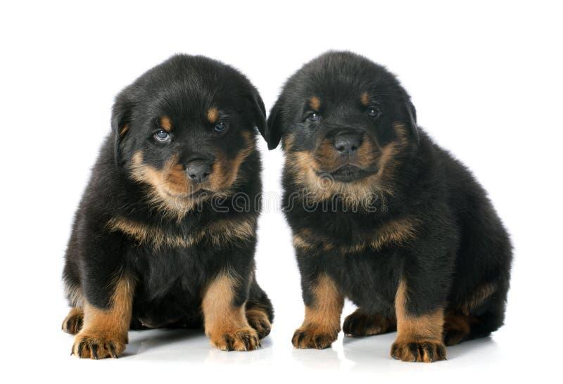 Download Puppy rottweiler stock afbeelding. Afbeelding bestaande uit achtergrond - 39104253