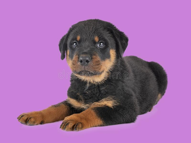 Puppy rottweiler in studio royalty free stock photography