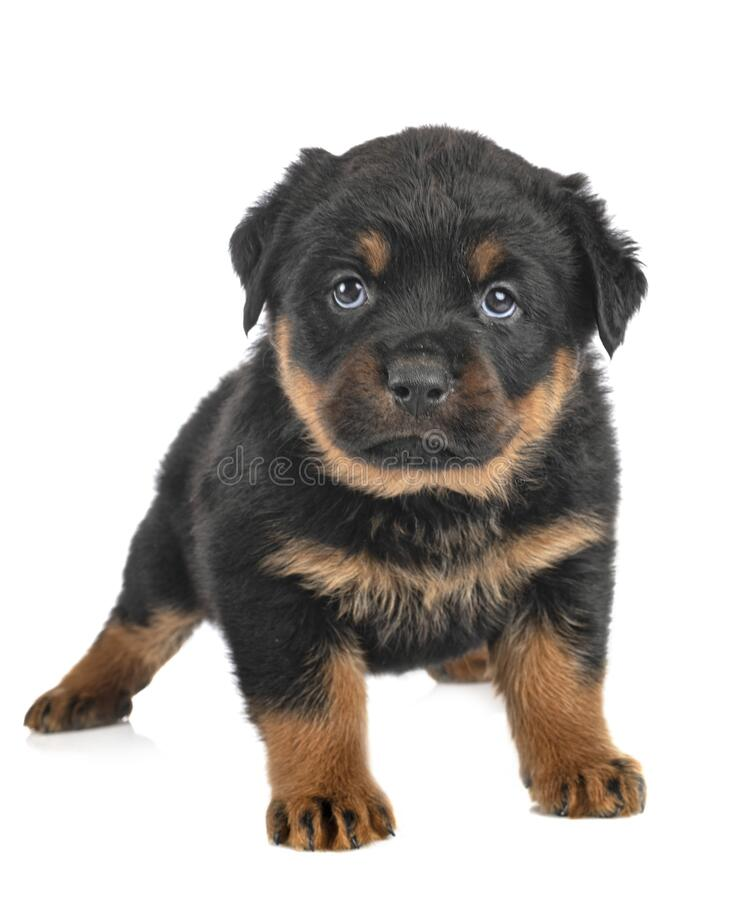 Puppy rottweiler in studio royalty free stock images