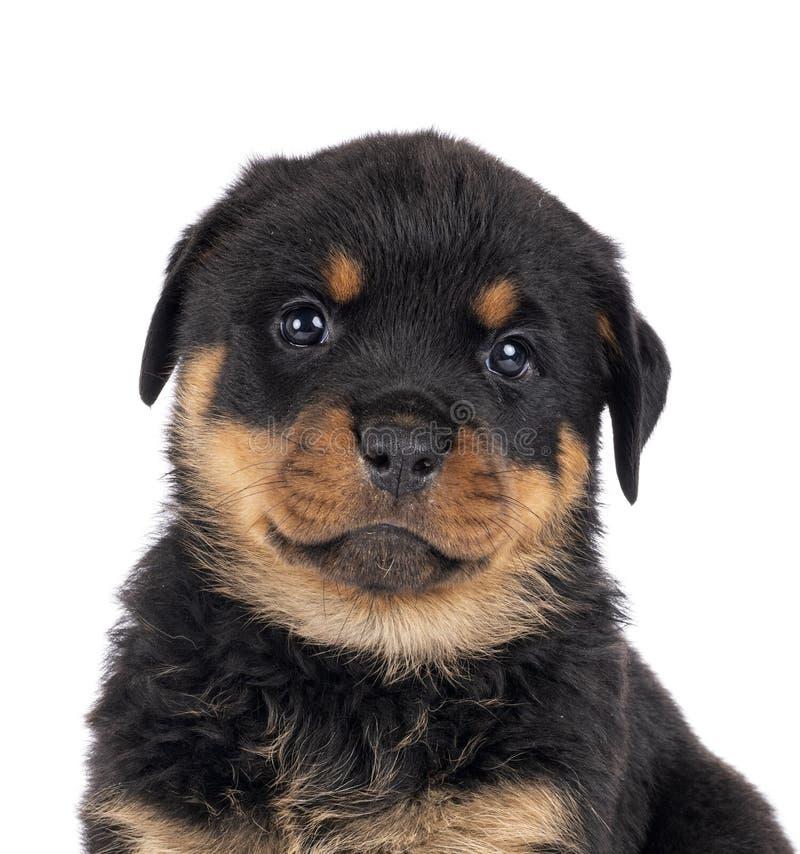 Puppy rottweiler in studio stock photos