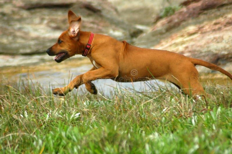 Puppy running royalty free stock photos