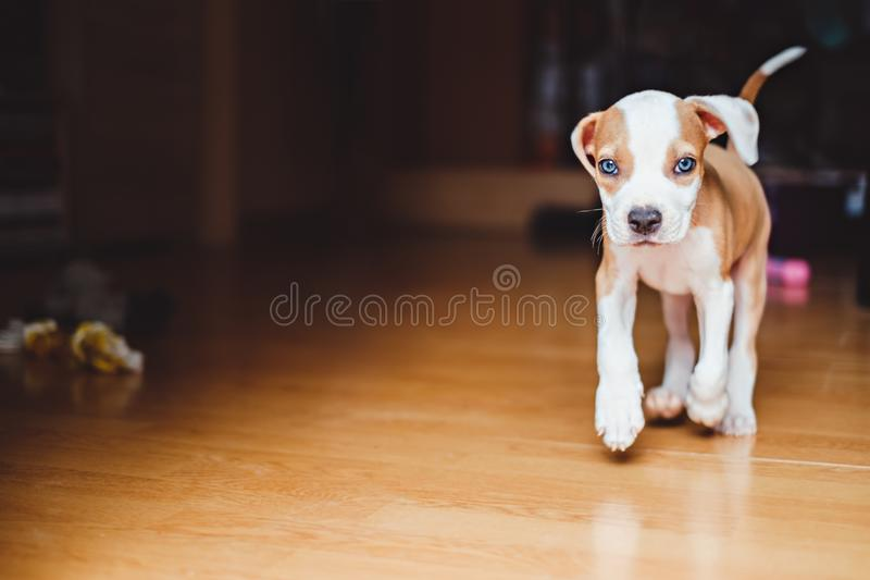 Puppy running in the house royalty free stock photography