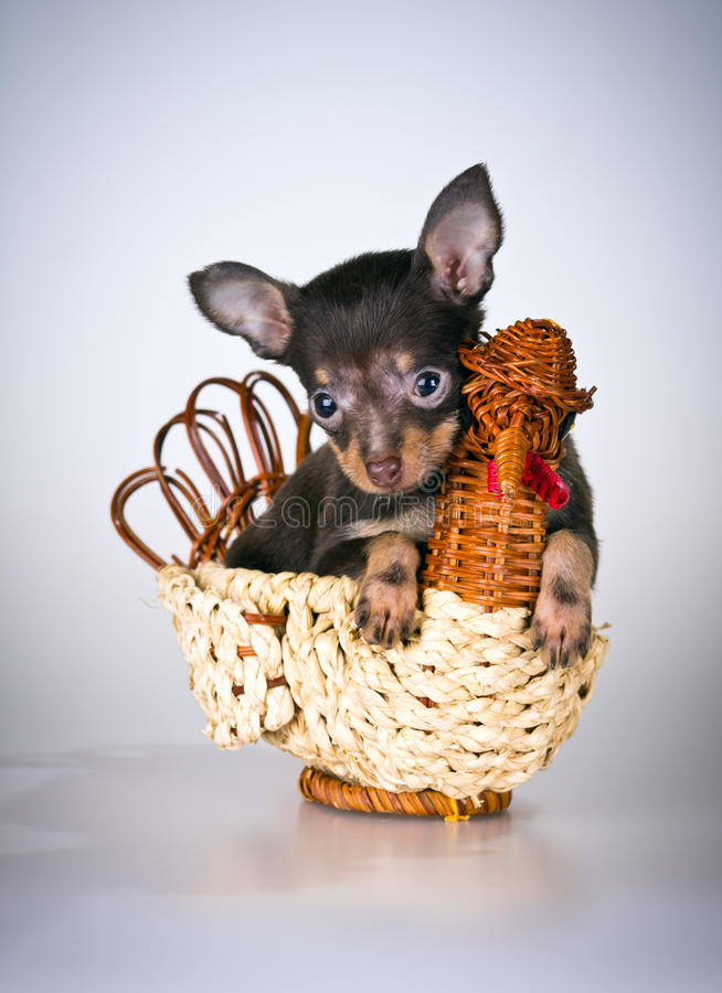 Puppy Russian Toy Terrier Royalty Free Stock Image