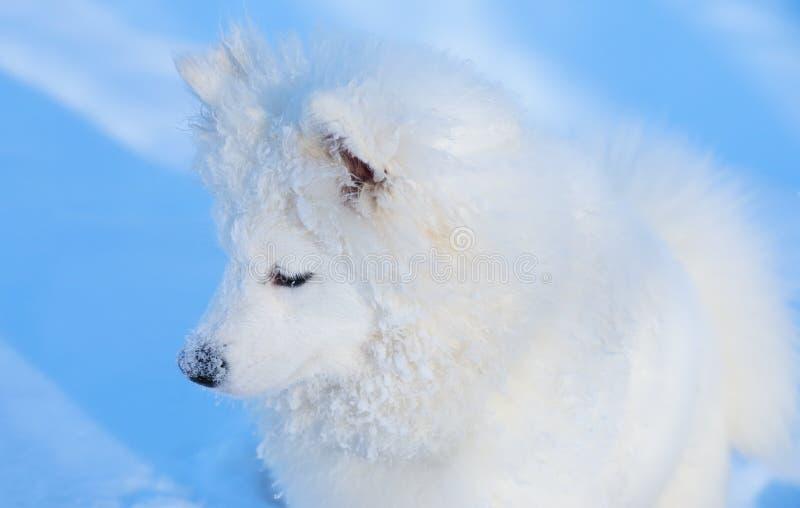 Puppy of Samoyed dog