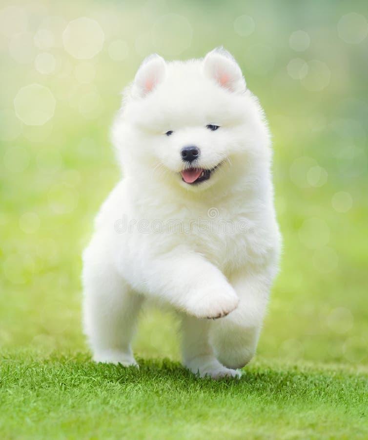 Puppy of Samoyed dog running on green grass. royalty free stock image