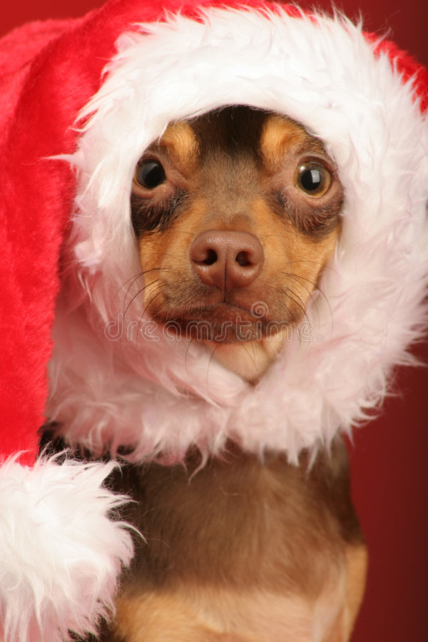 Puppy with santa hat on its head royalty free stock photography