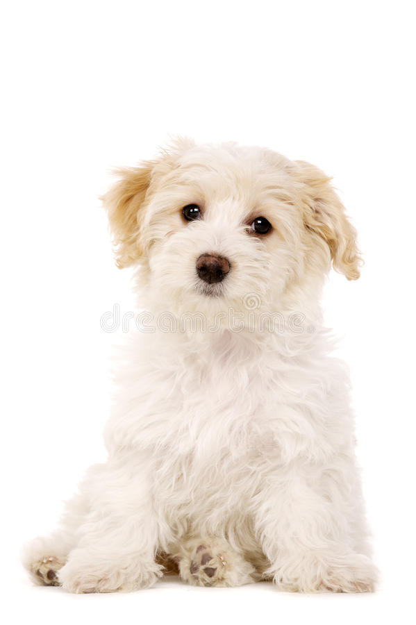 Download Puppy Sat Isolated On A White Background Stock Image - Image: 28900265