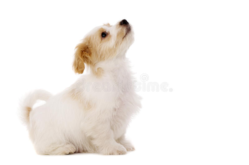 Puppy sat looking up isolated on a white background. Playful Bichon Frise cross puppy sat looking up isolated on a white background stock images