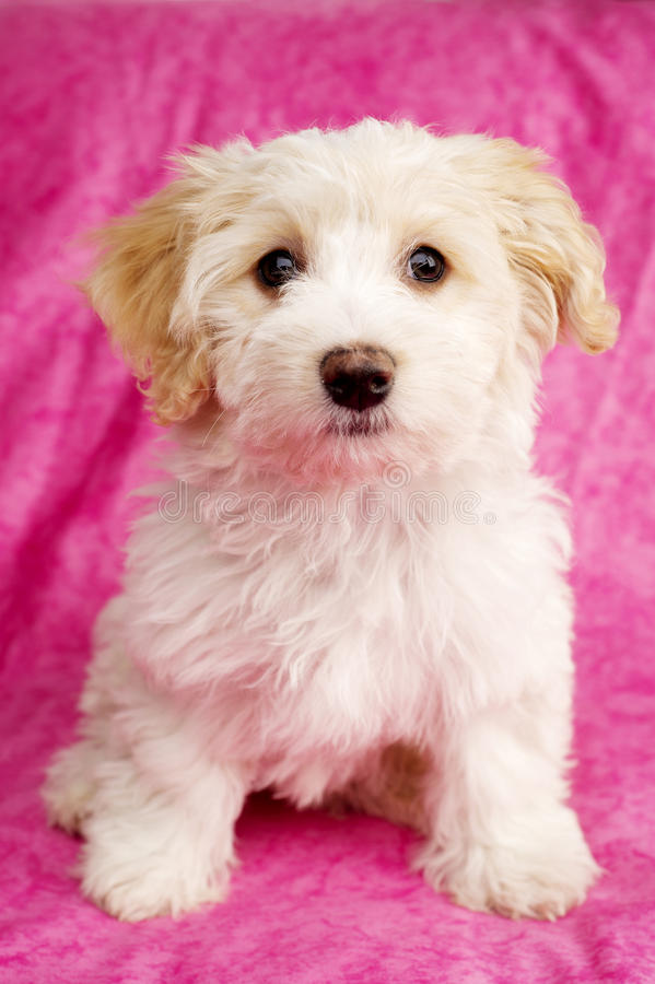 Puppy sat on a pink background. Bichon Frise cross puppy sat up on a pink mottled background stock images
