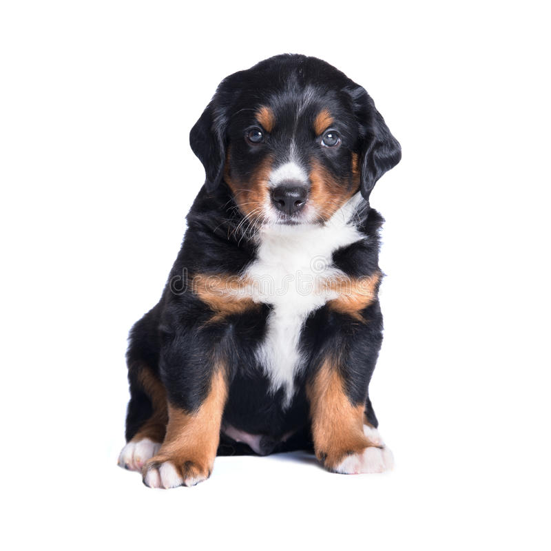 Free Puppy Sennenhund, 1 Months, Isolated On White Stock Photography - 26541782