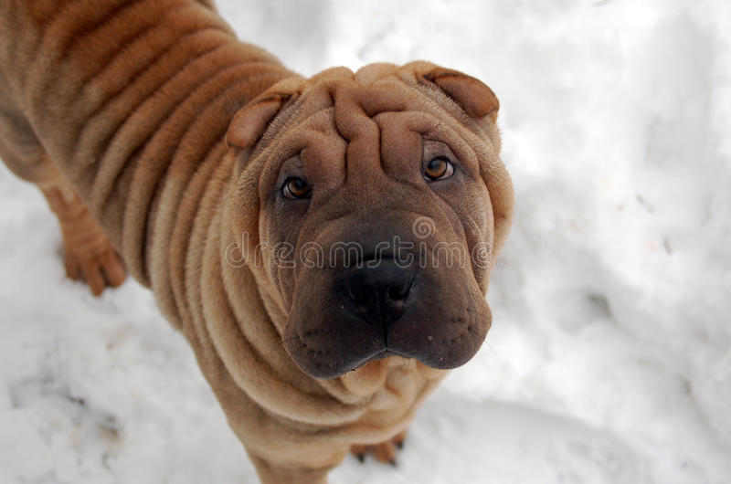 Puppy shar pei portrait. In the winter royalty free stock photography