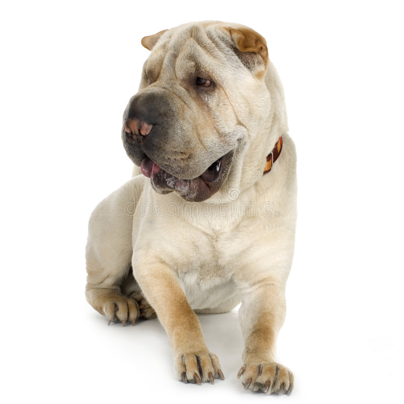 Puppy Sharpei (9 mouths) royalty free stock photo