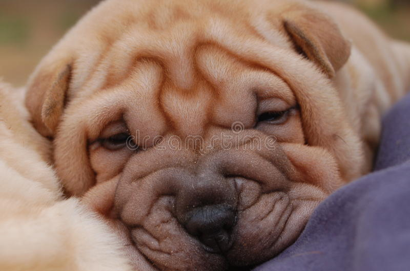Puppy sharpei face stock images