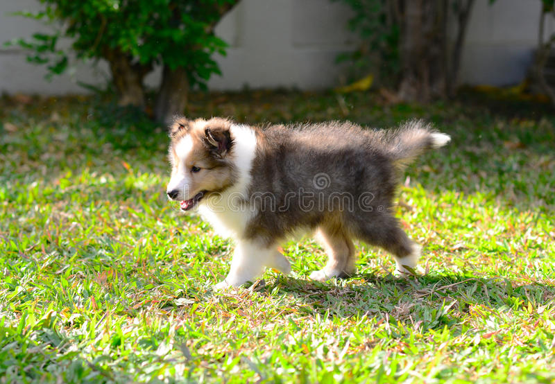 Puppy sheltie walking. Puppy sheltie with perfect body move in the garden stock photography