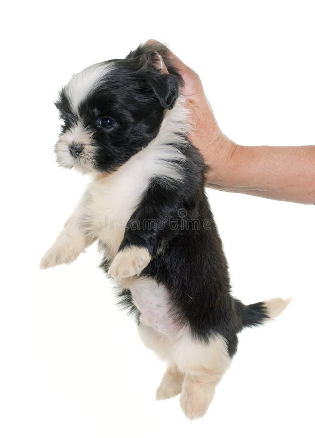 Puppy shih tzu stock photography