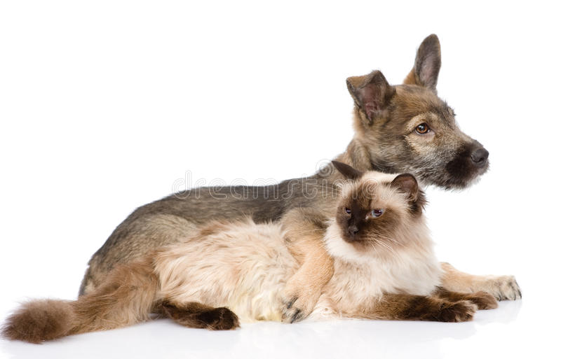Puppy and siamese cat together. isolated on white background royalty free stock photography