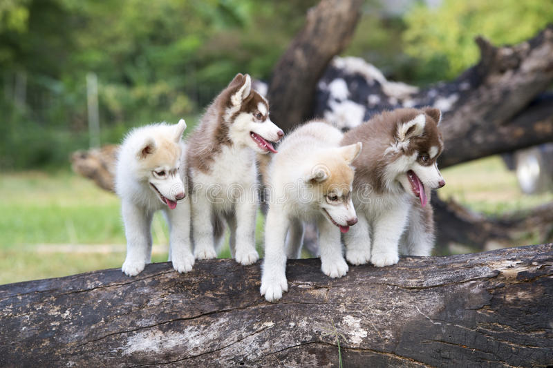 Puppy of Siberian husky stock images