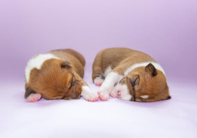 Puppy sleeping on the bed stock photo